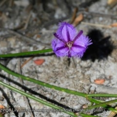 Thysanotus juncifolius (Branching Fringe Lily) at South Pacific Heathland Reserve - 19 Nov 2017 by Charles Dove