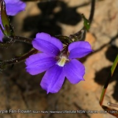 Scaevola ramosissima (Hairy Fan-flower) at South Pacific Heathland Reserve - 21 Nov 2017 by Charles Dove