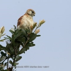 Falco cenchroides (Nankeen Kestrel) at Culburra Beach - Lake Wollumboola Bushcare - 23 Nov 2017 by Charles Dove