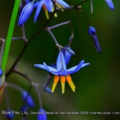Dianella caerulea (Blue Flax Lily) at Garrad Reserve Walking Track - 1 May 2018 by Charles Dove