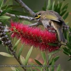 Caligavis chrysops (Yellow-faced Honeyeater) at Undefined - 31 Oct 2017 by Charles Dove
