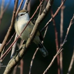 Gerygone mouki (Brown Gerygone) at Undefined - 21 May 2017 by Charles Dove