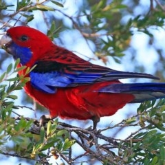 Platycercus elegans (Crimson Rosella) at Undefined - 25 May 2018 by Charles Dove