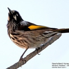 Phylidonyris novaehollandiae (New Holland Honeyeater) at Coomee Nulunga Cultural Walking Track - 24 May 2017 by Charles Dove