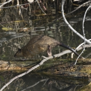 Hydromys chrysogaster at Jerrabomberra Wetlands - 28 May 2018