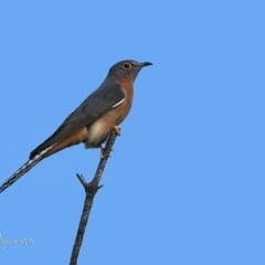 Cacomantis flabelliformis (Fan-tailed Cuckoo) at Coomee Nulunga Cultural Walking Track - 8 May 2017 by Charles Dove