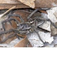 Tasmanicosa godeffroyi (Garden Wolf Spider) at Gungahlin, ACT - 28 May 2018 by jbromilow50