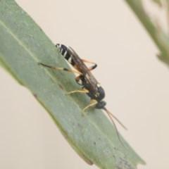 Ichneumonidae sp. (family) (Unidentified ichneumon wasp) at Jerrabomberra Wetlands - 28 May 2018 by Alison Milton