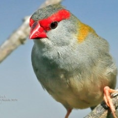 Neochmia temporalis (Red-browed Finch) at One Track For All - 5 May 2017 by Charles Dove