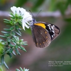 Delias nysa (Yellow-spotted Jezebel) at One Track For All - 2 May 2017 by Charles Dove