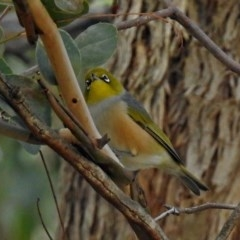 Zosterops lateralis (Silvereye) at Jerrabomberra Wetlands - 29 May 2018 by RodDeb