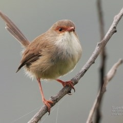 Malurus cyaneus (Superb Fairy-wren) at Undefined - 26 Mar 2017 by Charles Dove