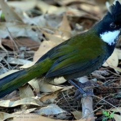 Psophodes olivaceus (Eastern Whipbird) at South Pacific Heathland Reserve - 13 Mar 2017 by Charles Dove