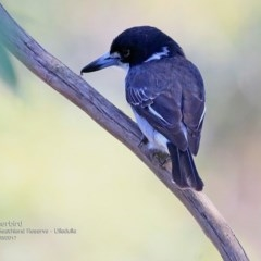 Cracticus torquatus (Grey Butcherbird) at South Pacific Heathland Reserve - 11 Mar 2017 by Charles Dove