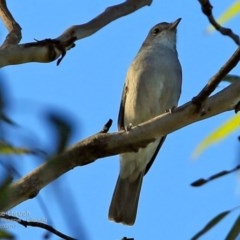 Colluricincla harmonica (Grey Shrike-thrush) at South Pacific Heathland Reserve - 13 Mar 2017 by Charles Dove