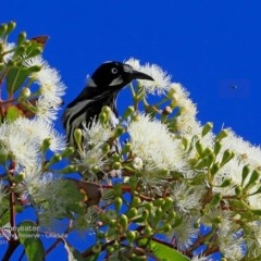 Phylidonyris novaehollandiae (New Holland Honeyeater) at South Pacific Heathland Reserve - 5 Mar 2017 by Charles Dove