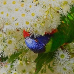 Trichoglossus haematodus (Rainbow Lorikeet) at South Pacific Heathland Reserve - 13 Mar 2017 by Charles Dove