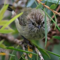 Acanthiza lineata (Striated Thornbill) at Undefined - 5 Mar 2017 by Charles Dove