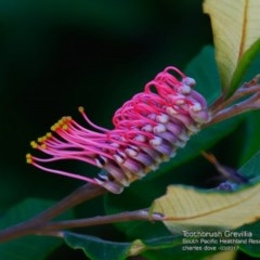 Grevillea macleayana (Jervis Bay grevillea) at South Pacific Heathland Reserve - 6 Mar 2017 by Charles Dove
