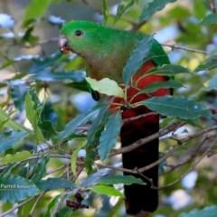 Alisterus scapularis (Australian King-parrot) at Lake Tabourie Bushcare - 28 Jun 2017 by Charles Dove
