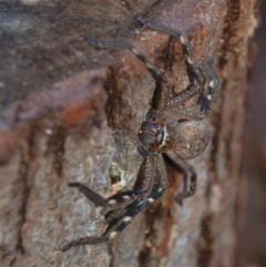 Neosparassus calligaster (Beautiful Badge Huntsman) at Aranda, ACT - 30 May 2018 by KMcCue