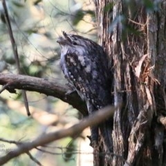 Podargus strigoides (Tawny Frogmouth) at Ulladulla - Millards Creek - 25 Jun 2017 by Charles Dove