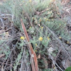 Chrysocephalum semipapposum (Clustered Everlasting) at Hughes Grassy Woodland - 30 May 2018 by JackyF