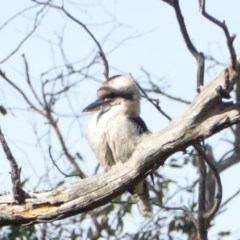 Dacelo novaeguineae (Laughing Kookaburra) at Red Hill Nature Reserve - 28 May 2018 by JackyF