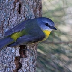 Eopsaltria australis (Eastern Yellow Robin) at Wairo Beach and Dolphin Point - 21 Jun 2017 by Charles Dove
