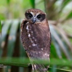 Ninox novaeseelandiae (Southern Boobook) at Milton Rainforest Walking Track - 24 Jun 2017 by Charles Dove