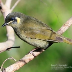 Meliphaga lewinii (Lewin's Honeyeater) at Coomee Nulunga Cultural Walking Track - 13 Jun 2017 by Charles Dove