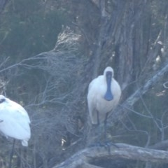 Platalea regia (Royal Spoonbill) at Bawley Point Bushcare - 26 May 2018 by MaggieJ