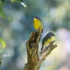 Eopsaltria australis (Eastern Yellow Robin) at Undefined - 2 Jun 2017 by Charles Dove