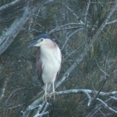 Nycticorax caledonicus (Nankeen Night-Heron) at Bawley Point Bushcare - 24 Apr 2018 by MaggieJ