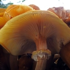 Armillaria luteobubalina (Australian Honey Fungus) at ANBG - 30 May 2018 by RodDeb