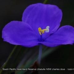 Patersonia sp. at South Pacific Heathland Reserve - 16 Oct 2017 by Charles Dove