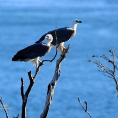 Haliaeetus leucogaster (White-bellied Sea-eagle) at Coomee Nulunga Cultural Walking Track - 31 May 2017 by Charles Dove