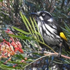 Phylidonyris novaehollandiae (New Holland Honeyeater) at ANBG - 30 May 2018 by RodDeb