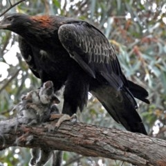 Aquila audax (Wedge-tailed Eagle) at ANBG - 30 May 2018 by RodDeb