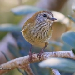 Acanthiza lineata (Striated Thornbill) at Conjola Bushcare - 26 Jul 2017 by Charles Dove