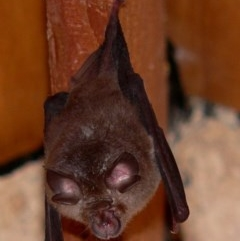 Rhinolophus megaphyllus (Eastern Horseshoe Bat) at Brogo, NSW - 1 Nov 2006 by MaxCampbell