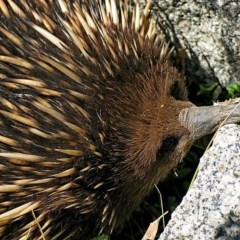 Tachyglossus aculeatus (Short-beaked Echidna) at Brogo, NSW - 13 Sep 2003 by MaxCampbell