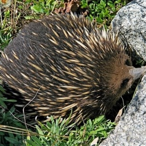Tachyglossus aculeatus at Brogo, NSW - 13 Sep 2003