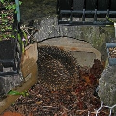 Tachyglossus aculeatus (Short-beaked Echidna) at Brogo, NSW - 7 Nov 2005 by MaxCampbell
