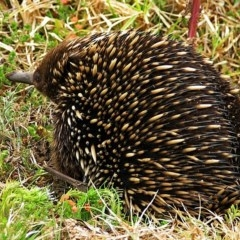 Tachyglossus aculeatus (Short-beaked Echidna) at Brogo, NSW - 12 Oct 2003 by MaxCampbell