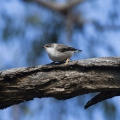 Daphoenositta chrysoptera (Varied Sittella) at Illilanga & Baroona - 20 May 2012 by Illilanga