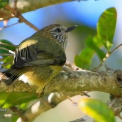 Acanthiza lineata (Striated Thornbill) at Undefined - 19 Jul 2017 by Charles Dove