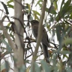 Cacomantis flabelliformis (Fan-tailed Cuckoo) at Michelago, NSW - 28 Feb 2015 by Illilanga