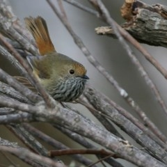 Acanthiza pusilla (Brown Thornbill) at One Track For All - 10 Jul 2017 by Charles Dove