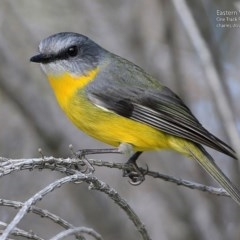 Eopsaltria australis (Eastern Yellow Robin) at One Track For All - 13 Jul 2017 by Charles Dove